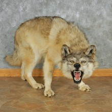 Stalking Gray Wolf Life-Size Mount #13019 For Sale @ The Taxidermy Store