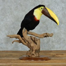 Chestnut Mandibled Toucan Life Size Mount