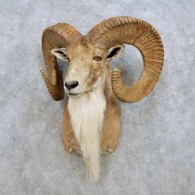 Transcaspian Urial Shoulder Mount For Sale #14274 @ The Taxidermy Store