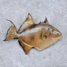 Trigger Fish Taxidermy Mount #12236 For Sale @ The Taxidermy Store