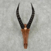 Tsessebe Painted Skull Horns European Mount #13819 For Sale @ The Taxidermy Store