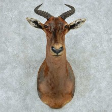 African Tsessebe Shoulder Mount #13607 For Sale @ The Taxidermy Store