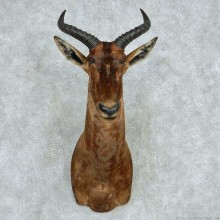 African Tsessebe Shoulder Mount #13609 For Sale @ The Taxidermy Store