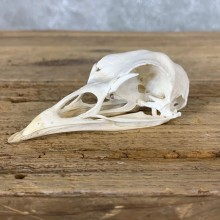 Turkey Bird Skull For Sale #22261 @ The Taxidermy Store