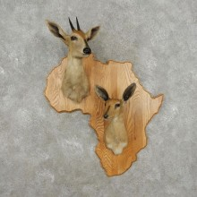 African Southern Duiker Shoulder Mount For Sale #17415 @ The Taxidermy Store