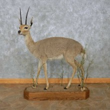 Grey Vaal Rhebok Life-Size Taxidermy Mount For Sale