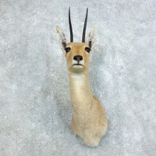 Vaal Reebok Shoulder #18455 - For Sale @ The Taxidermy Store
