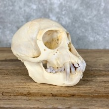 Vervet Monkey Full Skull Taxidermy Mount For Sale