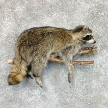 Wall-Hanging Raccoon Mount For Sale #22466 @ The Taxidermy Store