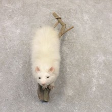 Wall Hanging Albino Opossum Mount For Sale #22531 @ The Taxidermy Store