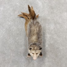Wall Hanging Opossum Mount For Sale #19075 @ The Taxidermy Store