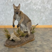Wallaby Life-Size Taxidermy Mount For Sale #22470 @ The Taxidermy Store