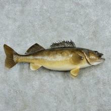 "29"" Walleye Pike Fish Mount"