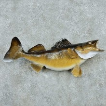 Walleye Freshwater Taxidermy Fish Mount #13509 For Sale @ The Taxidermy Store