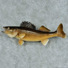 Walleye Life-Size Taxidermy Mount #13384 For Sale @ The Taxidermy Store