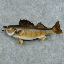 Walleye Taxidermy Fish Mount #13397 For Sale @ The Taxidermy Store