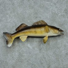 Walleye Pike Taxidermy Fish Mount #13398 For Sale @ The Taxidermy Store