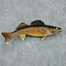 Walleye Pike Taxidermy Fish Mount #13399 For Sale @ The Taxidermy Store