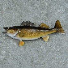 Walleye Pike Taxidermy Fish Mount #13424 For Sale @ The Taxidermy Store