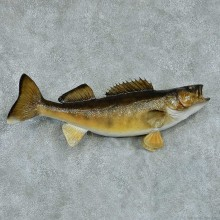 Walleye Pike Taxidermy Fish Mount #13425 For Sale @ The Taxidermy Store