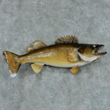 Walleye Pike Taxidermy Fish Mount #13427 For Sale @ The Taxidermy Store