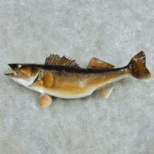 Walleye Freshwater Fish Life-Size Mount #13554 For Sale @ The Taxidermy Store