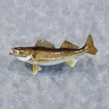 Walleye Pike Fish Mount #10224 For Sale @ The Taxidermy Store
