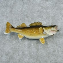 Walleye Pike Taxidermy Fish Mount #12789 For Sale @ The Taxidermy Store
