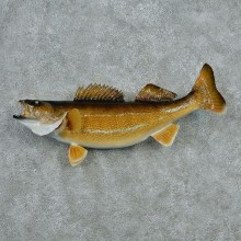 Walleye Pike Taxidermy Fish Mount #12790 For Sale @ The Taxidermy Store