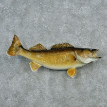 Walleye Pike Taxidermy Fish Mount #12791 For Sale @ The Taxidermy Store