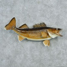 Walleye Pike Taxidermy Fish Mount #12792 For Sale @ The Taxidermy Store