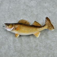 Walleye Pike Taxidermy Fish Mount-M1 #12824 For Sale @ The Taxidermy Store