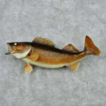 Walleye Pike Taxidermy Fish Mount M1 #12826 For Sale @ The Taxidermy Store