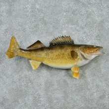 Walleye Pike Taxidermy Fish Mount M1 #12830 For Sale @ The Taxidermy Store