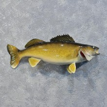 Walleye Pike Fish Mount #12211 For Sale @ The Taxidermy Store
