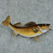 Walleye Pike Taxidermy Fish Mount #13404 For Sale @ The Taxidermy Store