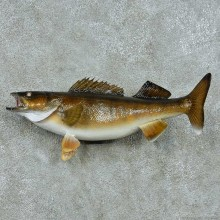 Walleye Life-Size Mount #13511 For Sale @ The Taxidermy Store