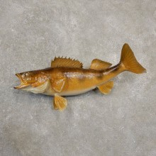 Walleye Fish Mount For Sale #20563 @ The Taxidermy Store