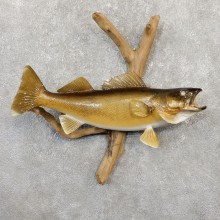 Walleye Taxidermy Fish Mount #20056 For Sale @ The Taxidermy Store