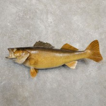 Walleye Taxidermy Fish Mount #20583 For Sale @ The Taxidermy Store