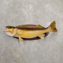 Walleye Taxidermy Fish Mount #20584 For Sale @ The Taxidermy Store