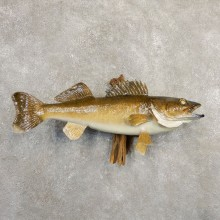 Walleye Taxidermy Fish Mount #20839 For Sale @ The Taxidermy Store