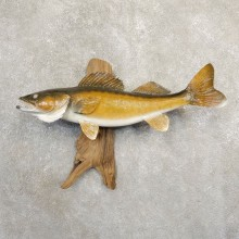 Walleye Taxidermy Fish Mount #20841 For Sale @ The Taxidermy Store