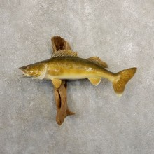 Walleye Taxidermy Fish Mount #20867 For Sale @ The Taxidermy Store