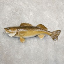 Walleye Taxidermy Fish Mount #20873 For Sale @ The Taxidermy Store