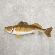 Walleye Taxidermy Fish Mount #20886 For Sale @ The Taxidermy Store