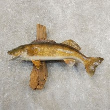 Walleye Taxidermy Fish Mount #20892 For Sale @ The Taxidermy Store