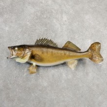 Walleye Taxidermy Fish Mount #21094 For Sale @ The Taxidermy Store
