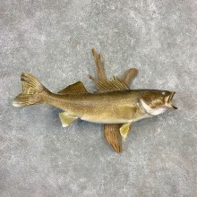 Walleye Taxidermy Fish Mount #21608 For Sale @ The Taxidermy Store