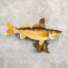 Walleye Taxidermy Mount For Sale #19707 @ The Taxidermy Store